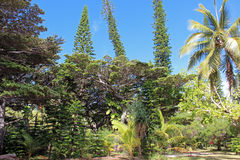 Mischung von Bäumen in der Insel von Kiefern, Neukaledonien, South Pacific lizenzfreie stockbilder