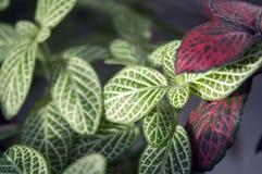 Mischung von fittonia albivenis, die auf Fensterbrett wachsen Lizenzfreie Stockfotos
