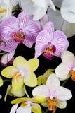 Mischungs-Orchideen Stockbild
