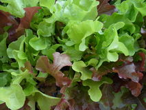 Mischungs-Salat stockfotos