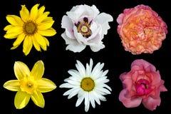 Mischungscollage von Blumen: weiße Pfingstrose, Rot und rosafarbene Rosen, gelbe dekorative Sonnenblume, Blume des weißen Gänsebl Stockbild