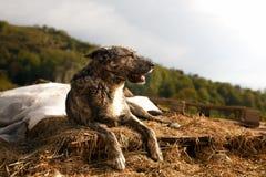 Mischzucht-Hund liegt im Freien auf Berg Lizenzfreie Stockfotos