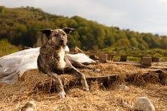 Mischzucht-Hund liegt im Freien auf Berg Lizenzfreies Stockbild