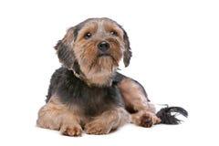 Mischzucht Yorkshire Terrier Lizenzfreie Stockfotos