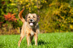 Mischzuchthund Lizenzfreie Stockfotografie
