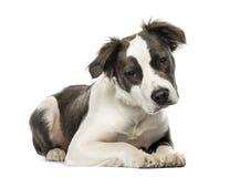 Mischzuchthund, der, 8 Monate alte, lokalisiert liegt Stockfotos