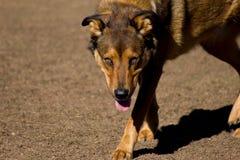 Mischzuchthund mit bernsteinfarbigen Augen lizenzfreies stockfoto