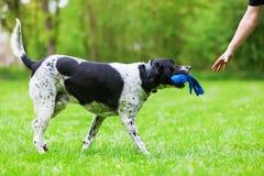 Mischzuchthund mit einem Spielzeug in der Schnauze lizenzfreie stockfotos