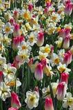 Miscuglio dei tulipani e dei narcisi fotografia stock