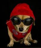 Misdadige hond Royalty-vrije Stock Foto's