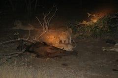 Mise à mort de lion Image libre de droits