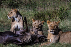 Mise à mort de lion Photos libres de droits