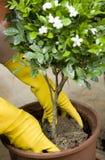 Mise en pot une fleur dans le bac image stock