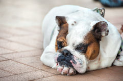 Miserable bulldog lying on the floor. SAI KUNG, HONG KONG - Miserable bulldog lying on the floor of Sai Kung promenade, Hong Kong stock image