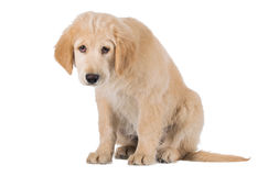 Miserable Golden Retriever puppy sitting front view isolated on Royalty Free Stock Photography