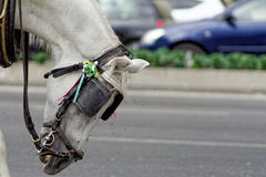 Miserable Spanish horse attacked by flies. In on the streets of Málaga, Spain Royalty Free Stock Photography
