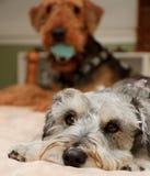 Miserabler kleiner Hund wünscht quietschendes Spielzeug stockbild