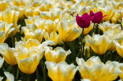 Misfits in a croud. Two pink misfits in a field of yellow tulips Royalty Free Stock Photography