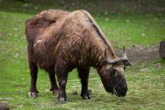 Mishmi扭角羚羚牛属taxicolor taxicolor 库存图片