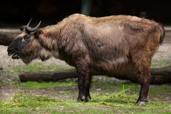 Mishmi扭角羚羚牛属taxicolor taxicolor 免版税图库摄影