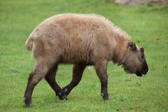 Mishmi扭角羚羚牛属taxicolor taxicolor 免版税库存照片