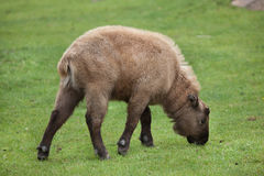 Mishmi扭角羚羚牛属taxicolor taxicolor 库存照片