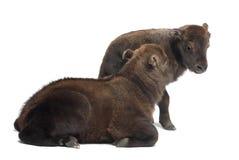 Mishmi扭角羚,羚牛属taxicolor taxicol 免版税图库摄影