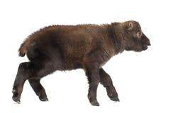 Mishmi扭角羚,羚牛属taxicolor taxicol 免版税库存图片
