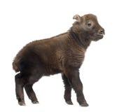 Mishmi扭角羚,羚牛属taxicolor taxicol 库存照片