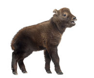 Mishmi扭角羚,羚牛属taxicolor taxicol 图库摄影