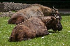 Mishmi扭角羚& x28; 羚牛属taxicolor taxicolor& x29; 库存图片