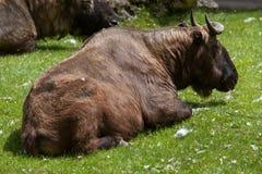 Mishmi扭角羚& x28; 羚牛属taxicolor taxicolor& x29; 免版税库存照片