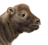 Mishmi Takin, Budorcas taxicolor taxicol Royalty Free Stock Images