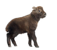Mishmi Takin, Budorcas taxicolor taxicol Stock Photo