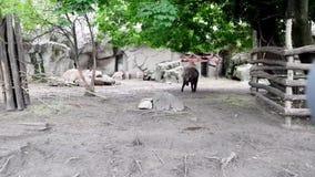 Mishmi -mishmi-takin en antilopen in de Dierentuin van Boedapest stock video