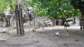 Mishmi -mishmi-takin en antilopen in de Dierentuin van Boedapest stock videobeelden