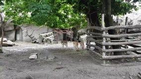 Mishmi -mishmi-takin en antilopen in de Dierentuin van Boedapest stock footage