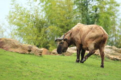 Mishmi takin Royalty Free Stock Images