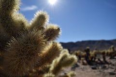 Misia Cholla kaktus w Joshua drzewa parka narodowego pustyni Fotografia Stock