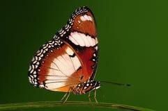 Misippus/varón/mariposa de Hypolimnas Fotos de archivo libres de regalías