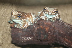 Misja przyglądająca się drzewna żaba Zdjęcie Stock