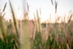 Misji trawa, Piórkowy Pennisetum, Ciency kwiaty, Napier trawy, Poaceae trawy lub zmierzch pomarańcze i światła na chmury tle obraz stock