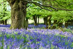 Bluebell woodlands in an ancient English woodland. Misk Hills,Hucknall,Notinghamshire,UK:02nd May 2018.After a morning of rain evening sunlight illuminates the Royalty Free Stock Images