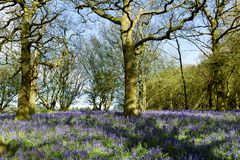 Bluebell woodlands in an ancient English woodland. Royalty Free Stock Photos