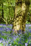 Bluebell woodlands in an ancient English woodland. Stock Images