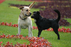 Mismatch. Black not purebred dog and labrador walk in park Stock Photography