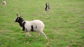 Mismo campo escocés del pasto del verde con la cabra de Bagot, cuerpo completo, caminando derecha a izquierda hasta salir del bas metrajes