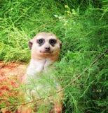 Mismo diversión y meerkats divertidos en un paseo en el parque zoológico que presenta para los fotógrafos Imágenes de archivo libres de regalías