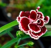 Mismo rosas fuertes Foto de archivo libre de regalías