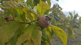 Mispel i fruktträd läcker frukt Fotografering för Bildbyråer